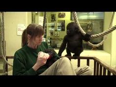Baby gorilla Tano was moved from Prague Zoo to Zoo Wilhelma after Tano's mom Bikira gave him up. Prague Zoo, Baby Gorillas, Primates, New Homes, Promised Land, Youtube, Diaries, Animals, Awesome
