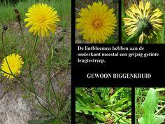 Gewoon Biggenkruid - Hypochaeris radicata. - Foto gemaakt door pinterester Adri v.d.S - Bord Wilde Gele bloemen - Yellow wildflowers