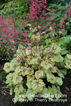 Heuchera 'Circus' | Hostas Direct