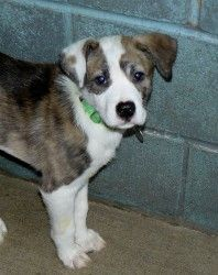 Outback is an adoptable Australian Shepherd Dog in Union, MO. For more information on this dog or any of our adoptable pets, please call the shelter at 636-583-4300 or stop by! Hours: Mon.11 -6:00 ,We...