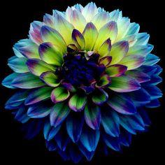 """worldloveflowers: """"Dahlia fleur Couleur Meanings bleu et vert, parfait pour les occasions impliquant de nouveaux départs et de grands changements.  http://ift.tt/2cXTCGM - http://ift.tt/1WIFzq5 """""""