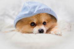 pomeranian dog cute pets coat blue sleeping on the couch. Pomeranian, Corgi, Cute Animals, Sleep, Pets, Animals And Pets, Corgis, Cute Funny Animals, Pomeranians