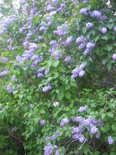 Syringa vulgaris(pihasyreeni) Syringa Vulgaris, Herbs, Garden, Flowers, Plants, Garten, Lawn And Garden, Herb, Gardens