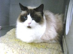 A195027 is an adoptable Ragdoll Cat in San Luis Obispo, CA.  ...
