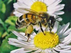 Honingbij-Werkster die stuifmeel haalt op madeliefje (foto: Albert de Wilde). Bee Pictures, Funny Animals, Cute Animals, Saintpaulia, Animal Magic, Save The Bees, Busy Bee, Bees Knees, Bee Keeping