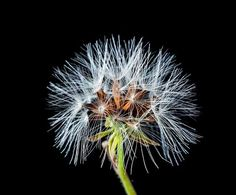 dandelion, small flower, wild flower, 1801020637