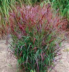 'Prairie Fire' red switchgrass (Panicum virgatum 'Prairie Fire') PAN-ih-kum ver-GAY-tum ttp://www.finegardening.com/%E2%80%98prairie-fire%E2%80%99-red-switchgrass-panicum-virgatum-prairie-fire#ixzz3avs74aOO Follow us: @finegardening on Twitter | ineGardeningMagazine on Facebook | Fine Gardening
