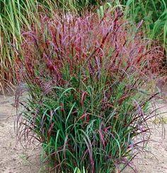 'Prairie Fire' red switchgrass (Panicum virgatum 'Prairie Fire') PAN-ih-kum ver-GAY-tum ttp://www.finegardening.com/%E2%80%98prairie-fire%E2%80%99-red-switchgrass-panicum-virgatum-prairie-fire#ixzz3avs74aOO Follow us: @finegardening on Twitter | ineGardeningMagazine on Facebook | Fine Gardening