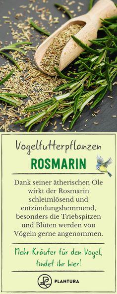 Rosmarin ist für Vögel sehr gesund. Durch die ätherischen Öle wirkt er entzündungshemmend. Mehr Kräuter für Vögel stellen wir euch hier vor. #rosmarin #ätherischeöle #vögel Freundlich, Ornamental Plants, Tips