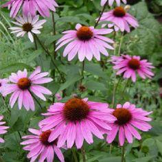 """Výsledok vyhľadávania obrázkov pre dopyt Echinacea purpurea """"Magnus"""""""