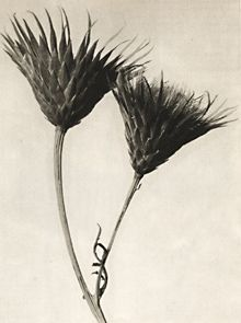 The Photographer Who Magnified the Alien Beauty of Plants. Karl Blossfeldt, Serratula nudicaulis, saw-wort, seed heads Karl Blossfeldt, Botanical Illustration, Botanical Prints, New Objectivity, Natural Form Art, Inspiration Artistique, Seed Pods, Botany, Art Forms