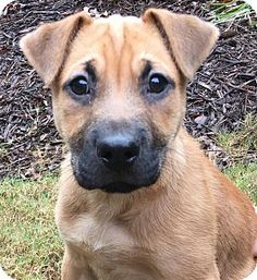 CUMMING, GA - Golden Retriever Mix. Meet Rascal, a puppy for adoption. http://www.adoptapet.com/pet/14670748-cumming-georgia-golden-retriever-mix