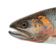Snake River Finespotted Cutthroat Trout. Illustrated and © by Joseph R. Tomelleri.