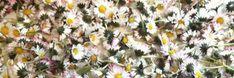 Madeliefje 'Bellis perennis ' De zon schijnt weer wat meer in deze tijd en meteen duikt dit bloemetje op in de tuintjes en parkjes.Madeliefjes zijn eetbaar en bezitten bel