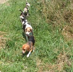 beagles | Rescue Service for Beagles