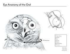 Image result for owls anatomy scientific