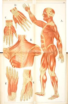 An Atlas of Anatomy: Pictures of the human body in twenty-four quartro coloured plates comprising one hundred separate figures, with descriptive Letterpress, Fenwick Miller, 1879 (https://pinterest.com/pin/287386019948676832).