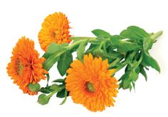 Aynısafa (Calendula officinalis L.) Ülkemizde süs bitkisi olarak yaygın bir şekilde yetiştirilmesine rağmen, tıbbi olarak kullanımı pek bilinmemekte ve geleneksel tıbbi bitkilerimiz arasında yer almamaktadır. Halbuki çiçekleri Avrupa ve Alman farmakopesinde drog olarak kayıtlıdır.