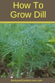 Growing Vegetables Want tips on how to grow dill? It's easy to grow this herb from seed straight in the garden or in a pot. Dill doesn't grow well indoors, but you can grow it in a windowsill box and enjoy its flavor all summer long. Growing Herbs, Growing Vegetables, Growing Dill From Seed, Gardening Vegetables, Gardening For Beginners, Gardening Tips, Flower Gardening, Garden Soil, Garden Landscaping