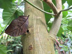 Au Naturospace les feuilles des arbres volent - Kallima inachus