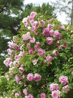 SUVIRUUSU Rosa poppius