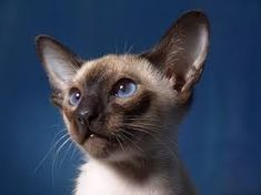 Siamese kitten of my dreams