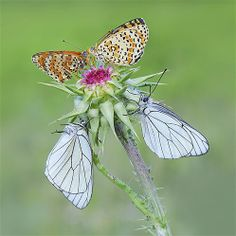 April 29, 2013: These delicate butterflies resemble petals as they rest on flowers. Photographer Mauro Maione, 57, watched the insects in a field of wildflowers shortly after dawn.