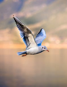Picture of a seagull in flight.