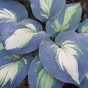 Hudson Bay – is a showy sport of Eskimo Pie. This showy hosta has attractive tricolor foliage of heavy substance, giving it good slug resistance.