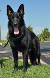 Legion is an adoptable German Shepherd Dog Dog in Newport Beach, CA. Legion was rescued by an animal lover unfamiliar with the breed and given to her elderly mother. They quickly determined that Legio...