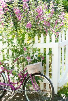 A purple bicycle with basket is perfect for transporting cut flowers like th pickete blooms behind the wh fence.ite