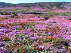 The #Namaqualandflowers only bloom from August to September, so if you'd love to witness nature's blooming display then book a tour now. #holidaybug #awesomelocations