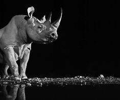 David Yarrow is a 48 years-old Scottish photographer who now lives in England. His work is mainly directed towards the animal photography in black and white. Here is a selection of some of his best portraits extracted right out of the most wildlife. Animals Black And White, Black And White Pictures, Black White, Wildlife Photography, Animal Photography, Beautiful Creatures, Animals Beautiful, Wildlife Fotografie, David Yarrow