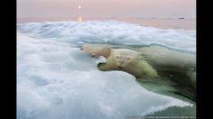 Esta impresionante imagen de un oso polar mirando hacia arriba desde el hielo derritiéndose en la bahía de Hudson, en América del Norte, tom...