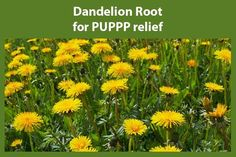 Dandelion Root for PUPPP relief