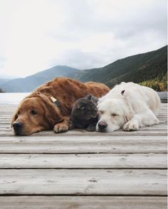 These Two Dogs And Cat Are The Most Adorable BFF Trio Ever - World's largest collection of cat memes and other animals Golden Retrievers, Two Dogs, I Love Dogs, Cute Puppies, Dogs And Puppies, Doggies, Animals Beautiful, Cute Animals, Tier Fotos