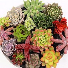 Mix Succulent Seeds, Lotus Lithops Pseudotruncatella Bonsai Plants Seeds, for Home and Garden Flower Pots Planters Cactus Seeds, Succulent Seeds, Planting Succulents, Succulent Plants, Cactus Flower, Flower Seeds, Flower Pots, Flowers, Bonsai Plants