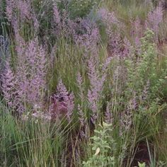 Eragrostis gummiflua is an attractive tufted grass with striking plumes. It prefers a sandy soil, but can also tolerate damp conditions. Grass Type, Sandy Soil, Plant Decor, Garden Plants, Wild Flowers, Exterior, Grasses, Bathrooms, Lawn And Garden