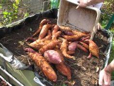 Growing Sweet Potatoes in 5 Gallon Buckets  