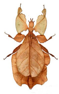 "The ancient Leaf insect, with its incredible camouflage, is nearly impossible to tell apart from the rainforest vegetation. Grouped together with stick insects as phasmids in the order Phasmida, the name comes from the Greek ""phasma"" meaning phantom"