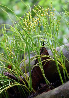 Psilotophytes - Psilotum nudum (Moa)