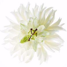 """Encyclopedia of Flowers lll"" will be published at the end of November. More challenging and sensational!!! #azumamakoto #shiinokishunsuke #amkk #東信 #東信花樹研究所 #jardinsdesfleurs #encyclopediaofflowers #encyclopediaofflowers3 #flowers #flowerart #makotoazuma"