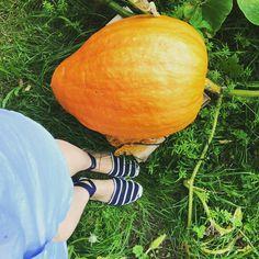 So groß ist schon Kürbis in meinem Garten. Ich freue mich auf die kübircremesuppe. Pumpkin, Vegetables, Garden, Pumpkins, Vegetable Recipes, Veggies, Gourd
