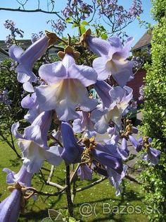 Paulownia tomentosa - čínsky cisársky strom - 1