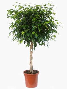 Braided Ficus Benjamina Ficus for Sale Online - Buy Now Indoor Tree Plants, Best Indoor Trees, Indoor Plants Low Light, Hanging Plants, Trees To Plant, Outdoor Plants, Ficus, Herbs Indoors, Faux Plants