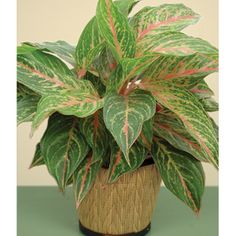 Aglaonema Sparkling Sarah New Jazzed Gems Series With Pink Variegated Leaves These Tough Houseplants Like Medium Light Warm Humid Conditions