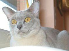 Beautiful Lilac Burmese with deep golden eyes
