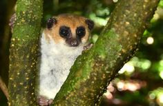 Madagascar is home to many of the planet's most weird, wonderful and endangered wild animals. Now, there's one more to join that list: Cheirogaleus andysabini, aka the Andy Sabin's dwarf lemur.