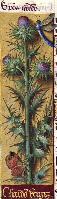Chardons vergez - Species cardo (Figure défectueuse du Silybum Marianum Gært.  = chardon Marie) -- Grandes Heures d'Anne de Bretagne, BNF, Ms Latin 9474, 1503-1508, f°125v