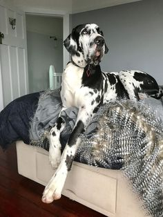 Just visit the site to get great deals on gear for your friend dogsuplies dogs dogtoy dogfood dogbed doghouse pet product great dane top 30 big dog memes Cute Dogs And Puppies, Big Dogs, I Love Dogs, Corgi Puppies, Samoyed Dogs, Giant Dogs, Dalmatian Dogs, Dogs Pitbull, Large Dogs